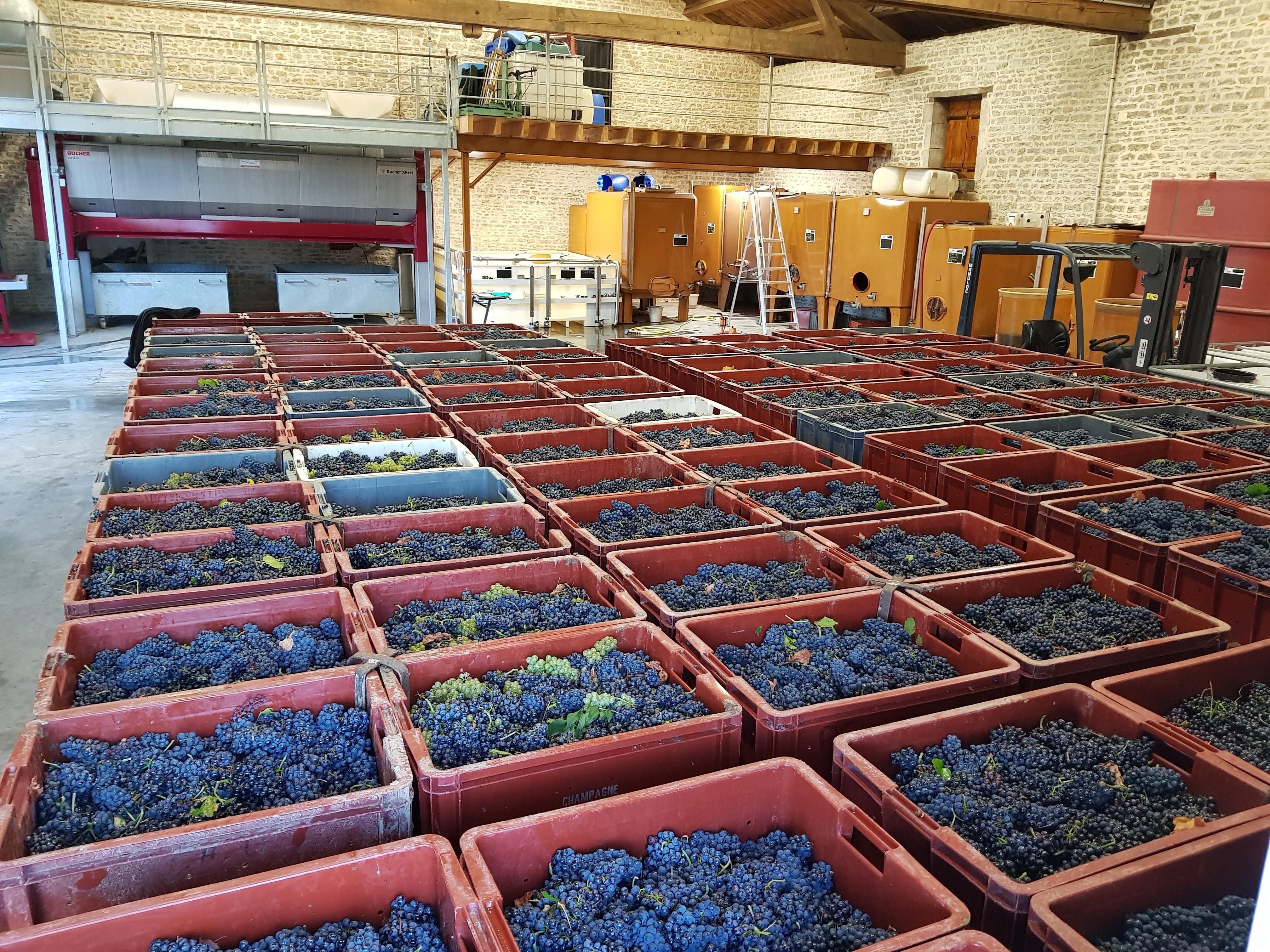 Les raisins sont stockés au frais dans l'attente d'être pressés et vinifiés par nos soins